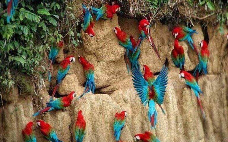 Macaws in the Amazon Jungle Rainforest